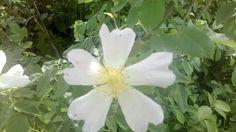 Fiore silvestre