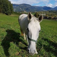 Für Pauline Kneidingers Duke of World bedeutete das Jahr 2017 den Pensionsantritt. © Privat #Glücksmomente #adventkalender #pferdeliebe #EQWOnet Goats, Horses, Animals, Animais, Animales, Animaux, Animal, Horse, Goat