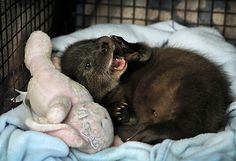 Otter pup separated from his family finds a new home - February 28, 2015 - Lots more at today's Daily Otter post: http://dailyotter.org/2015/02/28/otter-pup-separated-from-his-family-finds-a-new-home/ !