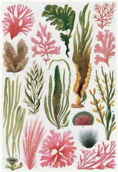 Antique Algae Sea weed print vintage by theStoryOfVintage on Etsy, $18.95