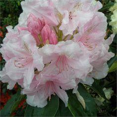 Rhododendron Pink Pearl - my favorite rhodie.