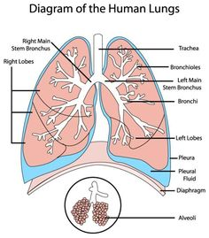 Human Lungs Diagram HLD01
