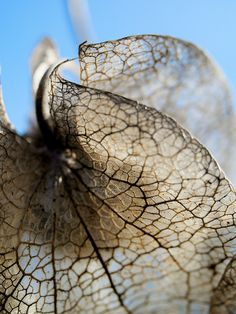 seed head ~ diaphanous gown by jamesgalpin, via Flickr
