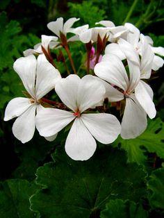 Pelargonium 'Dresden White'