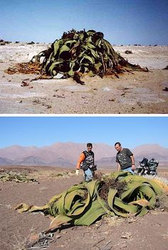 This odd plant stumped taxonomists for years. A desert plant found in South Africa, the thick welwitschia mirabilis generally possesses only two leaves, but these leaves curl and tangle as the plant grows (it often lives over 1,000 years) and becomes a jumbled, tough mass