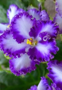 African Violet — Used as a protection amulet
