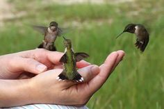 hand fed a humming bird-put red nectar in your hand & be very still/patient After  the 1ST time they'll  do it again. The only bird that can hover and fly backwards Found only in the Americas  Smallest animal with a backbone.