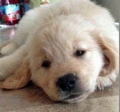 Lambert the Golden Retriever puppy - cute