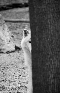 Grey wolf behind a tree  photography on by michalphotography, $250.00