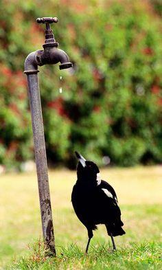 Australian Magpie, another hot, dry summer. Beautiful Birds, Animals Beautiful, Cute Animals, Outback Australia, Jackdaw, Australian Animals, Tier Fotos, Little Birds, Magpie