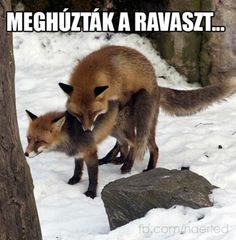 vicces Fox Pups, Funny Pins, Predator, Red Fox, True Stories, Animals And Pets, I Laughed, Haha, Funny Pictures