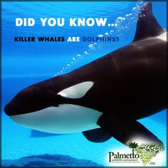 DID YOU KNOW...Killer whales are actually a type of dolphin? It's true! They are the largest of dolphins & one of the world's most powerful predators. They feast on mammals such as seals, seal lions, & whales. They are know to grab seals right off of the ice.Though they frequent colder coastal waters, they can be found from polar regions all the way to the equator. They are highly intelligent & are easily identifiable by their distinctive black-and-white coloring.