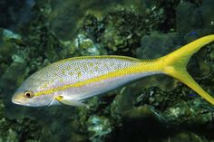 """Yellowtail Snapper are about 34"""" long and live in the North American Atlantic Coast."""