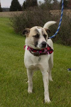 Podrick is an adoptable Australian Cattle Dog (Blue Heeler) searching for a forever family near Columbia, SC. Use Petfinder to find adoptable pets in your area.