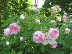 Romantic soft pink roses blooming in the Kuressaare castle park Blooming Rose, Pink Roses, Countryside, Castle, Romantic, Park, Nature, Flowers, Plants
