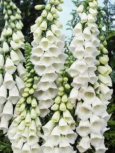, Digitalis Snow Thimble - this is perfect for a cottage garden and it's the first pure, snow-white foxglove - deer- and rabbit-resistant, attract birds. , Digitalis Snow Thimble - this is perfect for a cottage garden and it's the first. Garden Shrubs, Shade Garden, Bonsai Garden, Flowers Perennials, Planting Flowers, White Garden Flowers, White Perennial Flowers, Zone 4 Perennials, Purple Garden