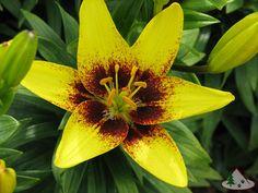 Honey Bee' Asiatic Tango Lily