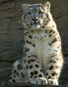 Fluffy Snow Leopard