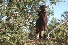 Hey! this is my Argan tree -    Goats eem to have a fair amount of freedom to get into Argan trees, They give a nutty sort of oil. Wonder what the berry eating goats taste jike...