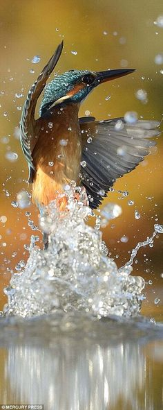 A kingfisher emerges from its dive...