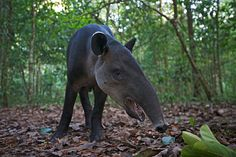 Tapir Wide Angle, Corcovado NP, Costa Rica / by Sean Crane on 500px