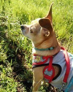 #おはようございます #朝のお散歩 #日曜日 #風は秋色 #運動会日和 #良い一日を #チワワ #スムチー #保護犬 #愛犬 #アイドッグレスキュー隊 #成犬 #成犬からでもかわいいよ  #犬との生活 #犬との暮らし  #chihuahua #dog #adoptdontshop #ilovemydog #lifewithdog #dogstagram #dogofinstagram #sunny #sunday #morning #dogwalk #haveaniceday