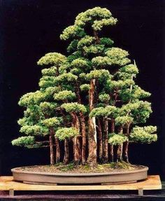 Bonsai - great shaped and proportioned forest display.