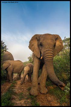 Elephant greet by Jacques de Klerk