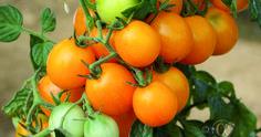Tomaatti, Pensas-, Gold Nugget