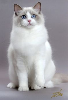 White Himalaya Ragdoll kitty ❤ Look at that beautiful face! Gorgeous. #cats