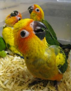 Baby Sun Conure - so adorable ... what my Tiki must have looked like when he was a chickie