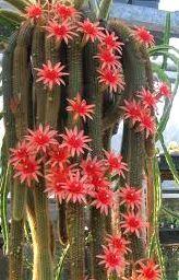 Hildewintera Aureispina Cactus Golden Rat Tail
