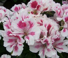 Oriental Regal Pelargonium 'Satsuki' Geranium