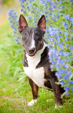 Is the Bull Terrier the right dog breed for you?