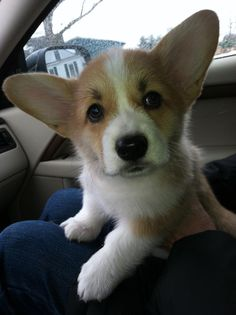 Introducing Lady Agnes Carberry, born on Christmas Eve, 2012. corgi. Z