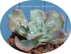 Feb 6, Echeveria 'Paul Bunyan' - warty and rugged with carunculations: Warty, rugged, yet strangely… #PlantsandGardening #retainingwall
