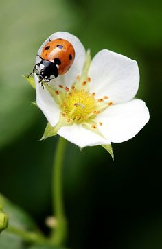 Lady Bug on white flower.