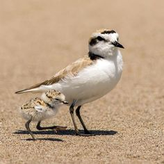 Snowy Plover w/ chicks by Mick Thompson