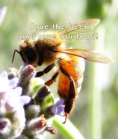 """When it comes to our food and wild plants and economic health, bees are invaluable.  Bees pollinate one in every three bites you eat and 70 percent of America's food sources.   Europe recently banned neonicotinoid pesticides, yet they continue to kill off millions of bees in the US. That is why Greenpeace is urging Congress to support the Save America's Pollinators Act calling to stop the use of neonicotinoids."""
