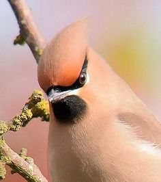 Waxwing by Barry Woodhouse, UK