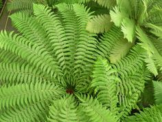 A swirl of fern fronds