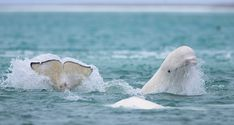 Drone video shot by an Arctic adventure tour guide, Nansen Weber, shows a rare bird's eye view of beluga whales in Canada's Nunavut Cunningham Inlet. The video features more than beluga whales. Water Animals, Polar Animals, White Whale, Ocean Creatures, Underwater Creatures, Underwater Life, Killer Whales, Aquarium Fish, Freshwater Aquarium