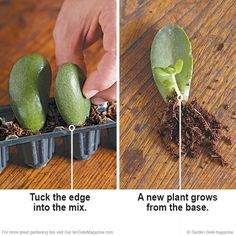 to root succulents with leaf cuttings Free succulents! Rooting succulents is simple with these helpful tips. Rooting succulents is simple with these helpful tips. Crassula Succulent, Propagating Succulents, Growing Succulents, Succulent Gardening, Succulent Terrarium, Cacti And Succulents, Growing Plants, Planting Succulents, Container Gardening