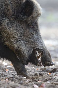 side view of mouth Wildlife Photography, Animal Photography, Reptiles, Mammals, Boar Hunting, Scary Animals, Wild Boar, Tier Fotos, All Gods Creatures