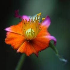 Friday's Fantasy Flower (by AnyMotion) Rockrose