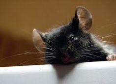 pet mice - Google Search