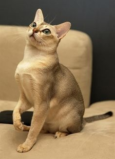 singapura - Top 10 Cat Breeds That Stay Small - known as the smallest breed of cat