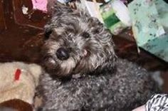 Lost Dog - Maltese - Toronto, ON, Canada