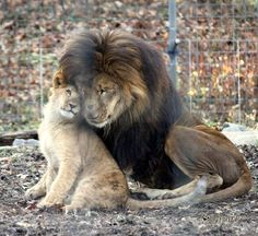 beautifully in love.. the lion always loves :) this male lion is the MOST beautiful male lion I ever seen!