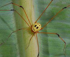 """Opilião """"Máscara de Jason"""" (Simambea sp.; família Cosmetidae), encontrado no Equador. Apesar da semelhança com o protagonista de um filme de terror, não é venenoso.  Biologia-Vida"""